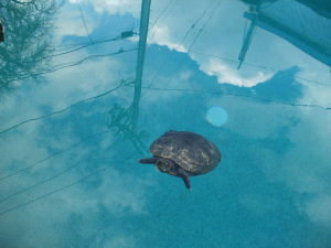 Swimming Pools and Turtles – Yes We Handle Anything/Everything